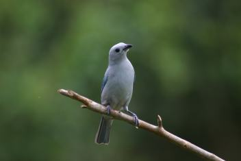 blue gray tanager 1-min