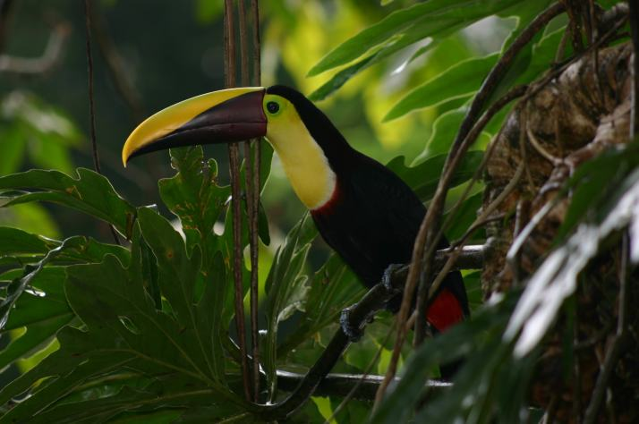 chesnut mandible toucan-min