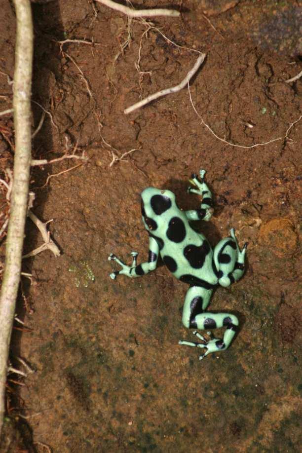 poison dart frog auratus-min