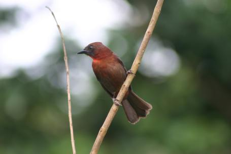 RED THROATED ANT TANAGER-min
