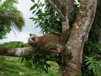 two toe sloth a-min
